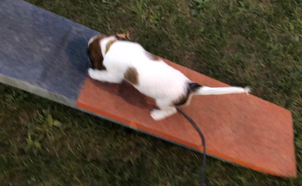 kooikerhondje eerste kennismaking kattenloop agility