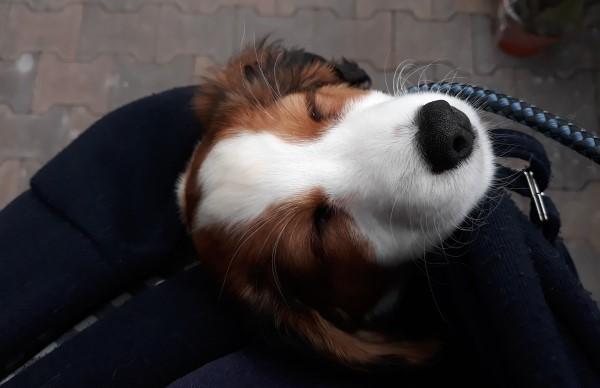 kooikerhondje slapende puppy