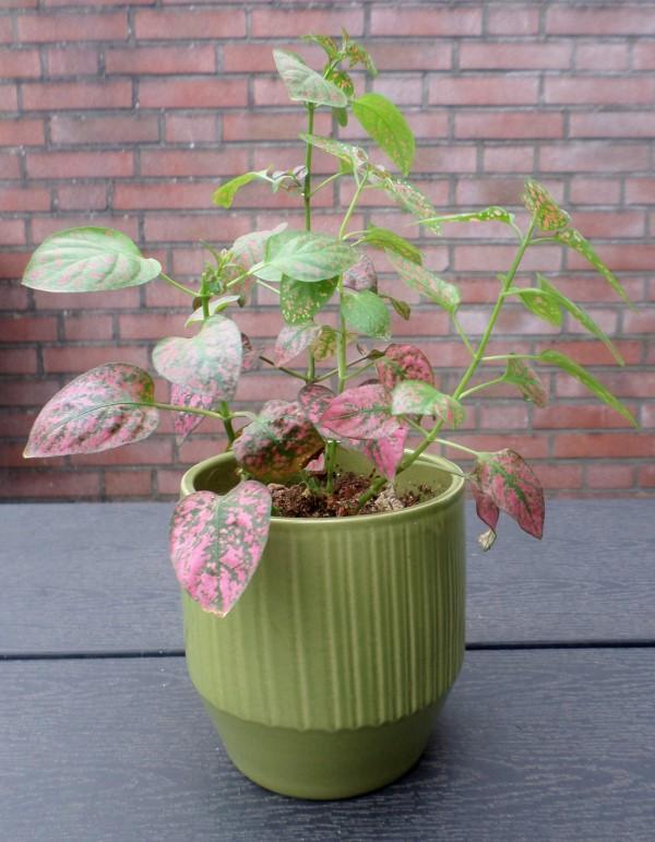 hypoestes polkadot-plant, mini bloempotjes, De leukste betaalbare bloempotjes voor binnen, leuke bloempotten voor binnen, kleine bloempotjes, grote bloempotten voor binnen, plantenpotten, kweekpotjes