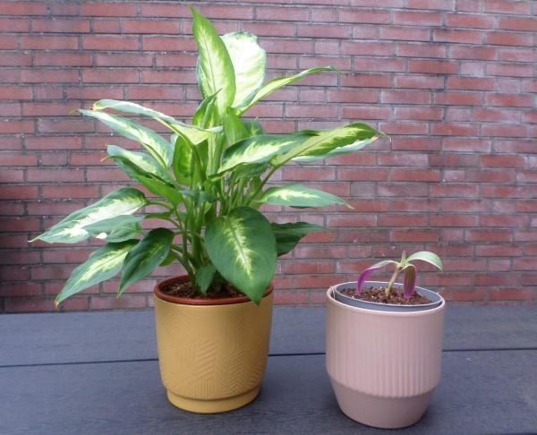 Dieffenbachia, stekje tradescantia spathacea, De leukste betaalbare bloempotjes voor binnen, leuke bloempotten voor binnen, kleine bloempotjes, grote bloempotten voor binnen, plantenpotten, kweekpotjes