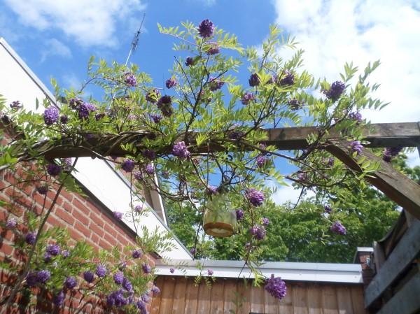 blauwe regen in je tuin laten groeien