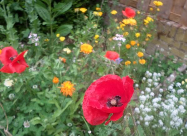 Een natuurlijke en diervriendelijke tuin maken, vlindertuin, vogeltuin, bloementuin voor bijen en insecten, klaprozen