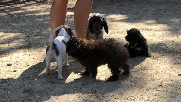 kooikerhondje op puppycursus