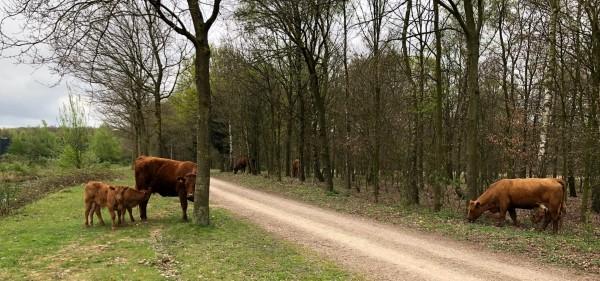 Lunchwandeling Galloway runderen Roermond