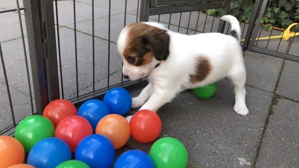 Puppy kiezen uit nest, hoe kies je de juiste puppy uit een nest hondjes