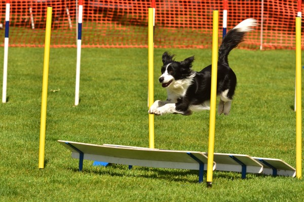 Sproet agility, sprollie, kruising border collie Engelse springer spaniel