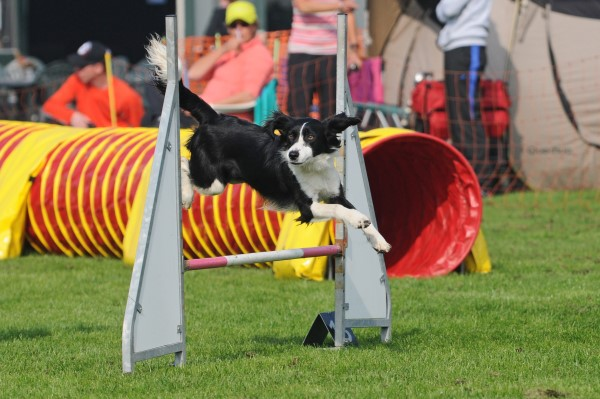Sproet, kruising border collie Engelse springer, sprollie, agility, behendigheid, hondensport