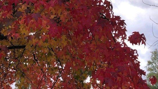 rood gekleurde herfstbladeren aan boom