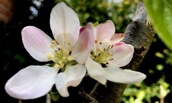 Beeldbank bloesem bloemen boompje