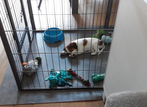 kooikerhondje-puppy Mango in puppyren, veilige puppyren