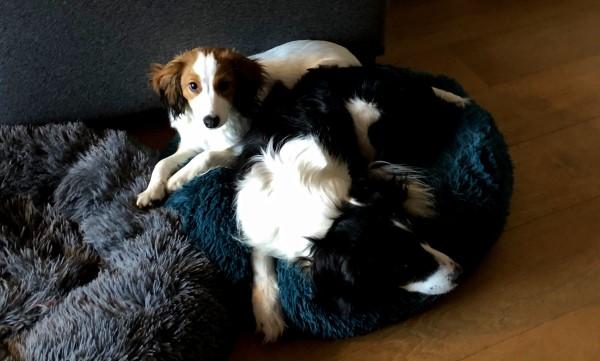 Tweede hond erbij, puppy introduceren bij andere hond hoe doe je dat