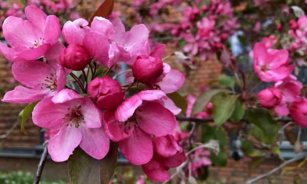 beeldbank bloemen roze bloesem